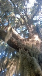 The beautiful trees on Sapelo covered in Spanish moss.